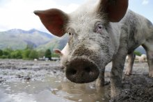 A curious pig